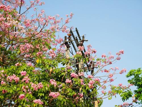 Tree in Utility Pole